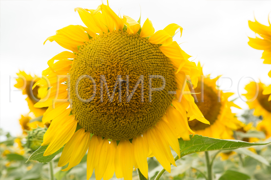 Семена подсолнечника Мирасол Фортасол. Подсолнечник под Гранстар