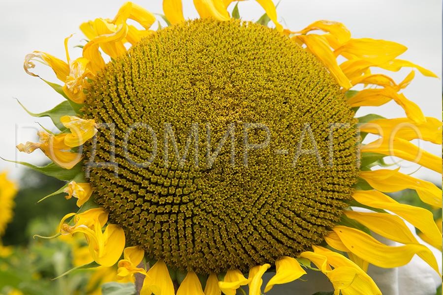 Семена подсолнечника Сирокко (Sirocco) Мирасол