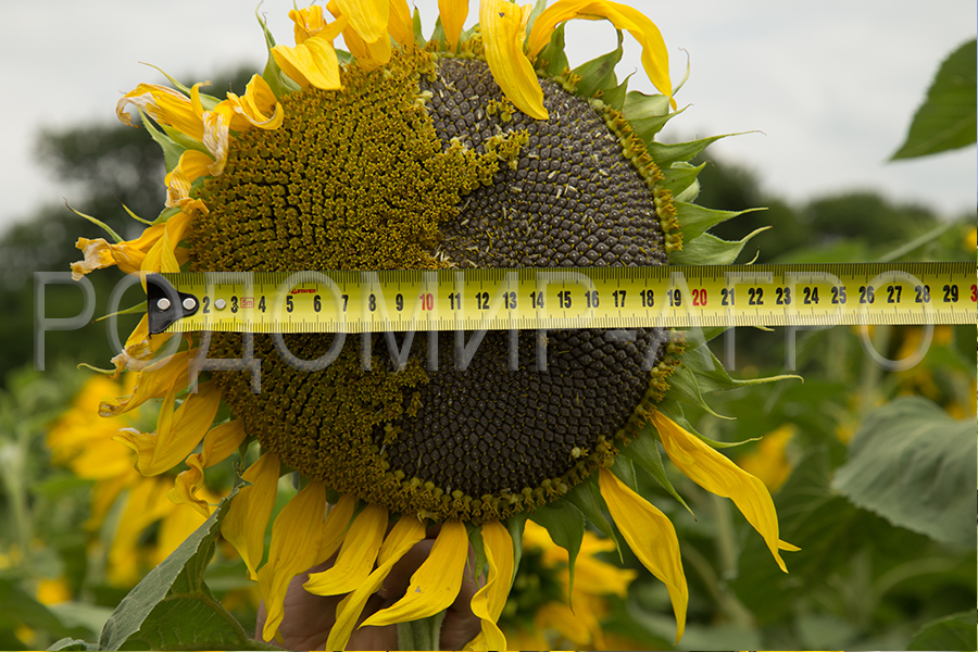 Семена подсолнечника Сирокко (Sirocco) Мирасол (Mirasol Seed)