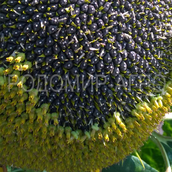 Засухоустойчивые гибриды подсолнечника ТМ Мирасол (Mirasol Seed)