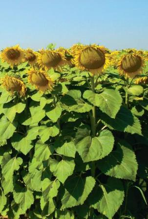 Семена подсолнечника Мирасол гибрид Бонасол
