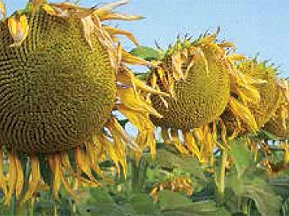 Семена подсолнечника Гиперсол OR6 Мирасол